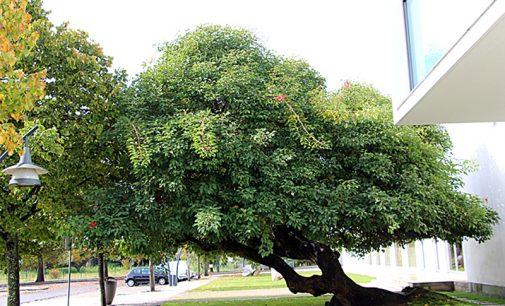 Não plantem árvores no Dia da Árvore