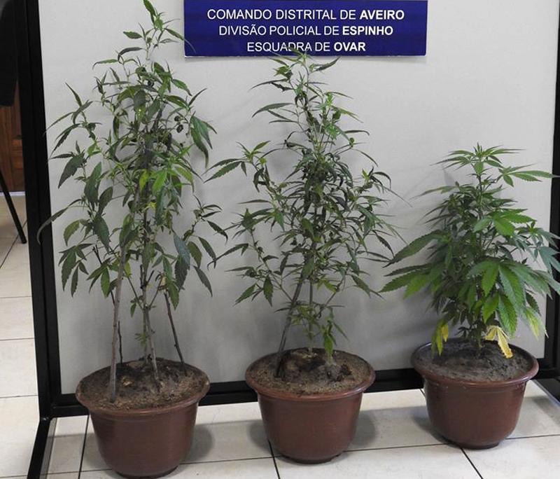 PSP de Ovar deteve homem por suspeita de cultivo de plantas de cannabis