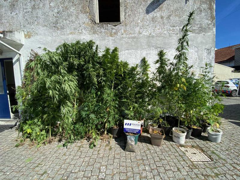PSP de Ovar desmantelou plantação de cannabis