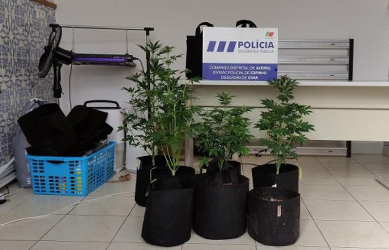 Tinha uma plantação de cannabis em casa